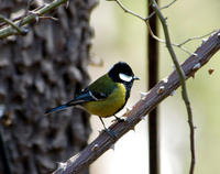 Image of: Parus monticolus (green-backed tit)
