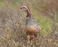 Barbary Partridge - Alectoris barbara