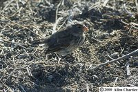 Small Ground-Finch - Geospiza fuliginosa