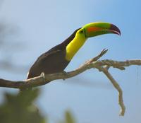 Keel-billed Toucan - Iain Campbell