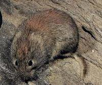 SOUTHERN RED-BACKED VOLE (Clethrionomys gapperi)