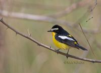 Yellow-rumped flycatcher C20D 03491.jpg