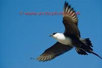 FT0185-00: Long Tailed Jaeger / Skua in flight. Pan Arctic