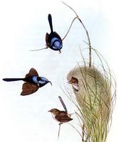 illustration Superb Fairy-wren Malurus cyaneus