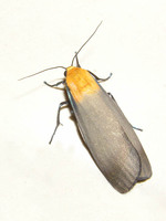 Lithosia quadra - Four-spotted Footman