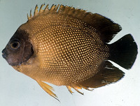 Apolemichthys guezei, Reunion angelfish: