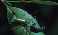Image of: Reduviidae (assasin bugs and assassin bugs)