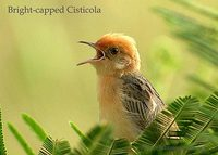 Bright-headed Cisticola - Cisticola exilis