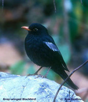 Grey-winged Blackbird - Turdus boulboul