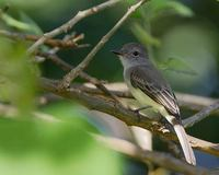 Panama Flycatcher (Myiarchus panamensis) photo