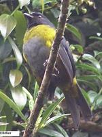 Black-and-yellow Silky-flycatcher - Phainoptila melanoxantha