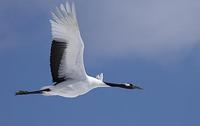 Red Crowned Crane , Grus japonensis , flying , in flight , against blue sky background Japan sto...