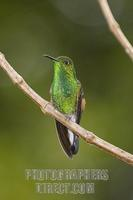 Striped tailed Hummingbird ( Eupherusa eximia ) , Monteverde , Costa Rica stock photo