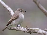 Asian brown flycatcher C20D 03591.jpg