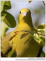 White-Bellied Green Pigeon 紅翅綠鳩 IMG 3002.jpg
