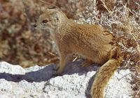 Photo of a yellow mongoose
