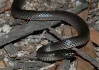 : Cryptophis nigrescens; Eastern Small-eyed Snake