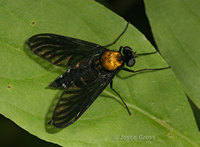 : Chrysopilus thoracicus; Golden-backed Snipe Fly