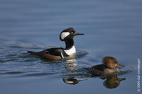 Image of: Lophodytes cucullatus (hooded merganser)