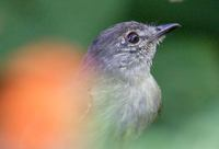 Southern Beardless-Tyrannulet (Camptostoma obsoletum) photo