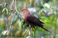 Little Cuckoo-Dove - Macropygia ruficeps
