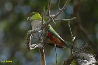 Red-capped Parrot - Purpureicephalus spurius