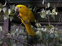 Golden Parakeet - Guarouba guarouba