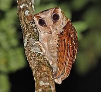 ...r, and many of the exciting species can be found in this exciting habitat. The Oriental Bay Owl