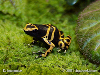 : Dendrobates leucomelas; Yellow-headed Poison Frog