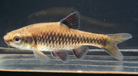 Barbus apleurogramma, East  african red finned barb:
