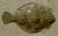 Rhombosolea retiaria, Black flounder: fisheries, gamefish