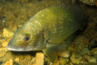 Acanthopagrus butcheri, Southern black bream: fisheries, gamefish