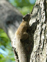 Image of: Callosciurus erythraeus (Pallas's squirrel)