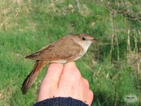 Luscinia megarhynchos - Common Nightingale