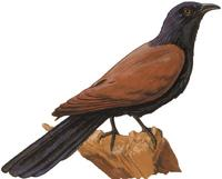 Image of: Centropus sinensis (greater coucal)
