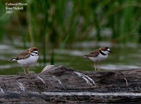 Collared Plover - Charadrius collaris