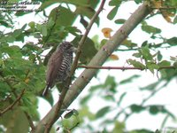 White-barred Piculet - Picumnus cirratus