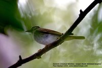 Eastern Crowned Leaf-Warbler - Phylloscopus coronatus