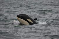 killer whale. copyright Robin W. Baird, Cascadia Research