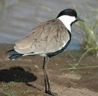 Spur-winged Lapwing p.126