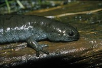 : Ambystoma texanum; Small-mouthed Salamander