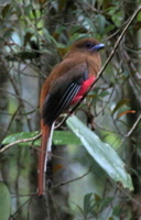Red-headed Trogon by Adrian O'Neill