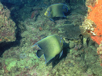 Pomacanthus semicirculatus, Semicircle angelfish: fisheries, aquarium