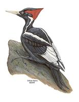 Image of: Campephilus principalis (ivory-billed woodpecker)