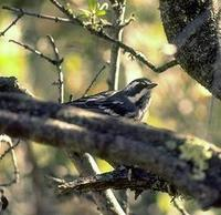 Image of: Dendroica nigrescens (black-throated grey warbler)