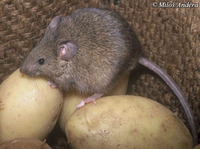 Mus musculus - Eastern House Mouse