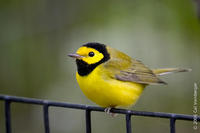 Image of: Wilsonia citrina (hooded warbler)