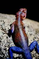 Agama mwanzae - Flat-Headed Rock Agama