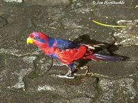 Red-and-blue Lory - Eos histrio