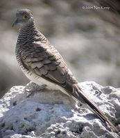 Barred Dove - Geopelia maugei